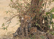 African Cheetah Cubs  Stock Images