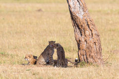 Cheetah with cubs in the shade. Cheetah with cubs lin the shade under a tree on the savannah Stock Image