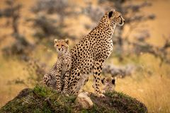 Cheetah and cubs sit on grassy mound Royalty Free Stock Images