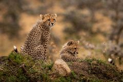 Cheetah cubs sitting and lying on mound royalty free stock photos