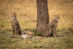 Cheetah cubs sitting and lying by tree stock photography