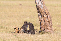 Cheetah with cubs Royalty Free Stock Image