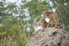 Cheetah cubs on a termite mound. A vertical, colour photo of two cheetah cubs, Acinonyx jubatus, resting on a termite mound in the Greater Kruger Transfrontier royalty free stock images