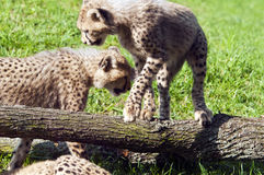 Cheetah cubs Stock Images