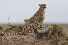 Cheetah with cubs VII Royalty Free Stock Images