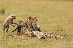 Cheetah with cubs XIV Stock Photo