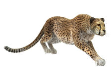 Cheetah. 3D digital render of a hunting cheetah isolated on white background Stock Image