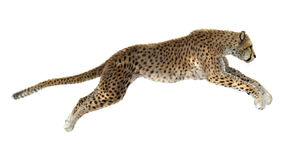 Cheetah. 3D digital render of a jumping cheetah isolated on white background royalty free stock images