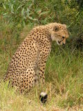 Cheetah day dreaming. Cheetah living in its own world Stock Image