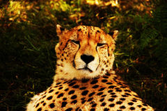 Cheetah Deep in Thought Stock Photography