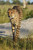 The cheetah from the delta. The cheetah & x28;Acinonyx jubatus& x29; Cheetah crossing termite building with green background royalty free stock images