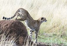 Cheetah Descending. A cheetah climbs down a termite mound on the Mara Royalty Free Stock Images