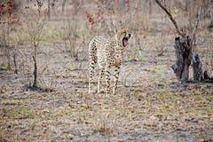 cheetah dess visande tänder Fotografering för Bildbyråer