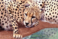 Cheetah Drinking. At a water hole Royalty Free Stock Photos