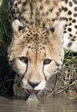 Cheetah drinking Stock Images