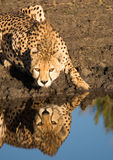 Cheetah drinking, and reflection Stock Images