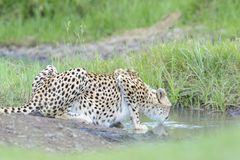 Cheetah drinking from a small pond Royalty Free Stock Photography