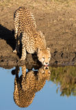 Cheetah Drinking Water with Reflection Stock Image