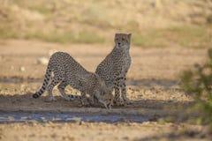 Cheetah drinking Stock Photos