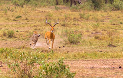 cheetah E Masai Mara foto de stock