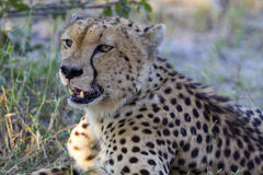 Cheetah. With eat to a killed antelope Stock Photography