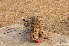 Cheetah eating Royalty Free Stock Image