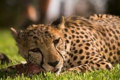 Cheetah eating Royalty Free Stock Image