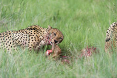 Cheetah eating. Three Cheetah's had killed a baby tsessebe (antelope) and were eating it as fast as they could to prevent lions / hyenas to steal the kill. The Royalty Free Stock Images