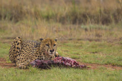 Cheetah Eating a Carcass Stock Image