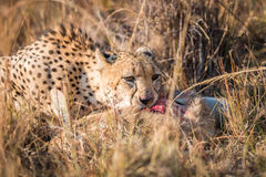 Cheetah eating a common reedbuck in the Kruger. Stock Photo