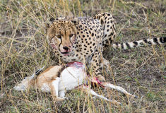 Cheetah eating gazelle Stock Images