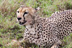 Cheetah eating its meal Royalty Free Stock Images