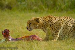 A Cheetah eating in Kruger National park stock photo