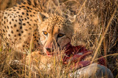 Cheetah eating in the Kruger. Royalty Free Stock Images