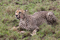 Cheetah eating meal. In Serengeti National park Stock Photo