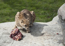 Cheetah eating raw meat on rocks Royalty Free Stock Photos