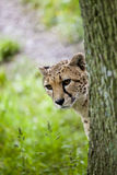 Cheetah Emerging. From behind a tree Royalty Free Stock Photo