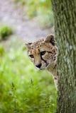 Cheetah Emerging Royalty Free Stock Photo