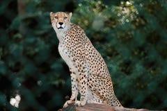 Cheetah in enclosure Stock Image