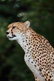 Cheetah in enclosure Stock Photos