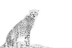 cheetah Esboço com lápis ilustração do vetor