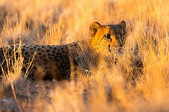 Cheetah in the Etosha National Park, Namibia Royalty Free Stock Images