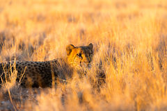 Cheetah in the Etosha National Park, Namibia Stock Photo