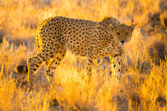 Cheetah in the Etosha National Park, Namibia Royalty Free Stock Photos