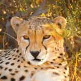 Cheetah in the Etosha National Park, Namibia Royalty Free Stock Image