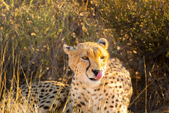 Cheetah in the Etosha National Park, Namibia Stock Photography
