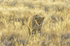 Cheetah in the Etosha National Park, Namibia Royalty Free Stock Photo