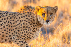 Cheetah in the Etosha National Park, Namibia Royalty Free Stock Photo