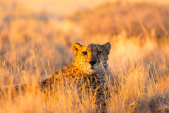 Cheetah in the Etosha National Park, Namibia Stock Image