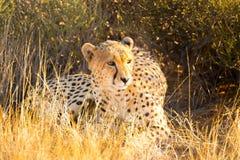 Cheetah in the Etosha National Park, Namibia Stock Photos